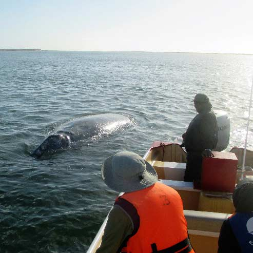 This is just a baby! The Whales Usually come right to the boat if they are not crowded. We often get to touch them.
